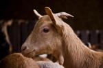 Découvrez le savon au lait de chèvre