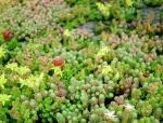 Production bio de végétaux pour toit vert